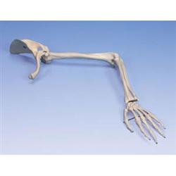 Arm Skeleton With Scapula & Clavicle - Left