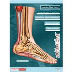 "BodyPartChart™ Cross Sections of the Foot 17.5"" x 22"" Unlabeled"