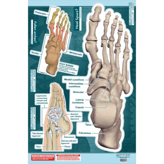 "BodyPartChart™ Ankle and Foot 24.5"" x 36"""
