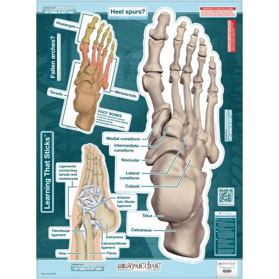 """BodyPartChart™ Ankle and Foot 19"""" x 25.5"""""""