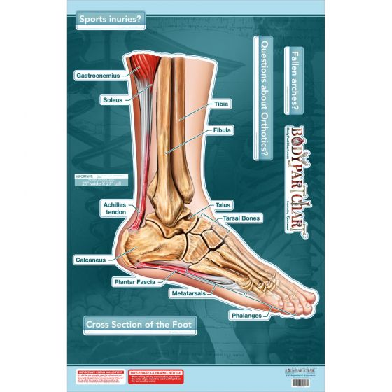 """BodyPartChart™ Cross Sections of the Foot 24.5"""" x 32.5"""" Labeled"""