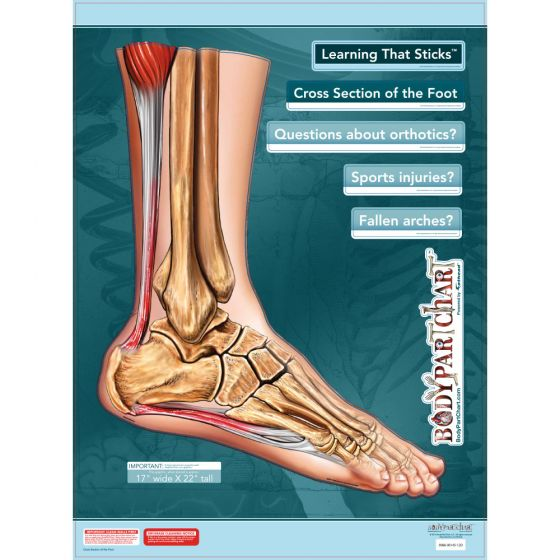 """BodyPartChart™ Cross Sections of the Foot 17.5"""" x 22"""" Unlabeled"""