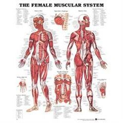 Chart Female Muscular System 1.5 Mil 20X26 Lamnt - Each