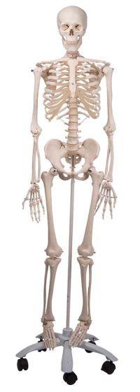 Stan-Standard Skeleton on Pelvic Roller Stand
