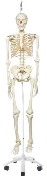 Stan The Standard Skeleton W/Hanging Roller Stand