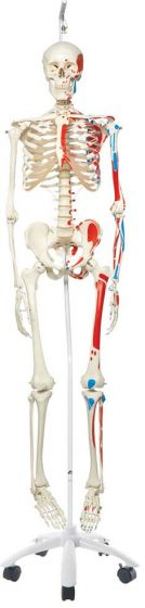 Max-The Muscle Skeleton W/Pelvic Roller Stand