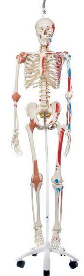 Sam The Super Skeleton W/ Hanging Stand