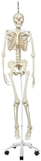 The Functional Skeleton On Hanging Stand,