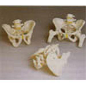Pelvic Skeleton Male