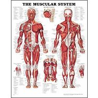 Anatomy Charts & Posters - Human Anatomical Charts