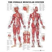 """Female Muscular System Anatomical Lamented Chart - 20"""" x 26"""""""