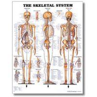 """Skeletal System Poster 20"""" X 26"""" Styrene"""