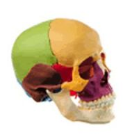 Snap Together 14 Part Skull-Color